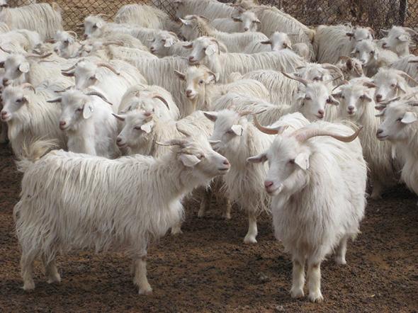Qualities_Cashmere_Goats